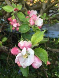 Æbletræ i blomst i kolonihave